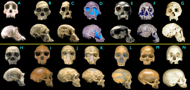 Transitional Fossils of Hominid Skulls