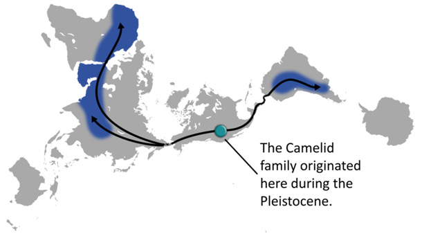 distribution of the Camel
